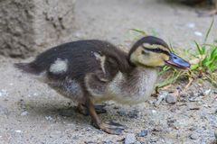 Little Duckling walking Stock Images