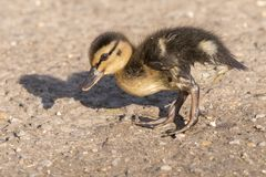 A duckling walking on a sunny day Stock Photography