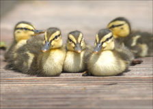 Duckling warming up in the sun. Cute jung ducklings warming up in the sun on the boardwalk in spring or springtime Stock Photo