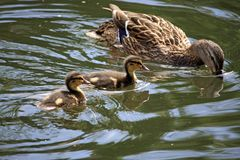 Duckling on the Water Royalty Free Stock Image