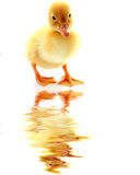 Duckling and water Stock Images