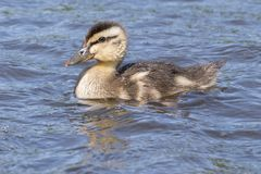 A duckling on the water Stock Images