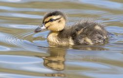 A duckling on the water Stock Photos