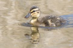 A duckling on the water Stock Image