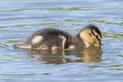 A duckling on the water Royalty Free Stock Images