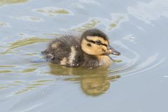 Duckling on the water. A duckling on the water on Southampton Common royalty free stock images