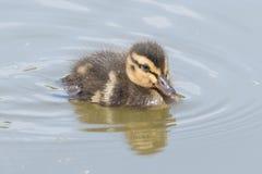 Duckling on the water. A duckling on the water on Southampton Common royalty free stock photography