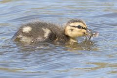 A duckling on the water eating  a  beetle Royalty Free Stock Images