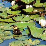 Duckling between the water lillies. In the pond of the park stock image