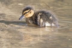 A duckling on the water Royalty Free Stock Photo