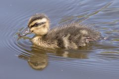 A duckling on the water Royalty Free Stock Photography