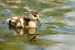 Duckling water reflection Royalty Free Stock Photo