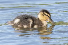 A duckling on the water Stock Photo
