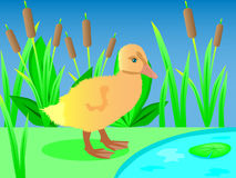 Duckling beside water Stock Photos