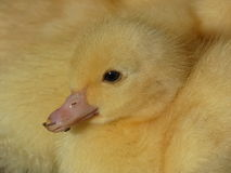 Duckling Yellow Young Domestic Duck Stock Photos
