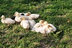 ducklings Royaltyfria Bilder