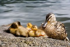 ducklings Royaltyfri Bild