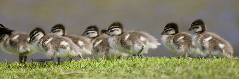 Ducklings. Australian Wood Duck ducklings racing each trying not to fall over Stock Photos