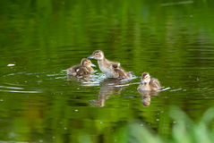 Ducklings. The little wild ducklings playing in the lake Stock Photography