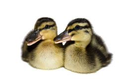 Ducklings. Stock Image