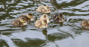 Ducklings. Young fluffy dicklings swimming in the water Royalty Free Stock Photography