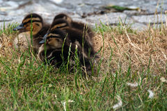 Ducklings. Mother duck guarding her ducklings at the shore of a lake Stock Images