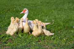 Ducklings. Small ducklings in group with the mother Royalty Free Stock Photography
