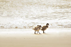 ducklings Royaltyfria Foton