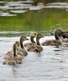 ducklings Royaltyfria Bilder