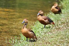 Three ducklings in a row Stock Photo