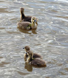 Ducklings. Two pairs of ducklings swimming in a pond royalty free stock photos
