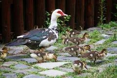 ducklings Arkivfoton