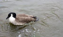 ducklings Arkivfoto