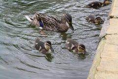 ducklings Royaltyfri Bild