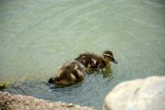ducklings arkivbild