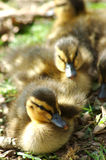 Ducklings Royalty Free Stock Photo