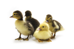 Ducklings Stock Images
