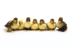 Free Ducklings Stock Photography - 8422982