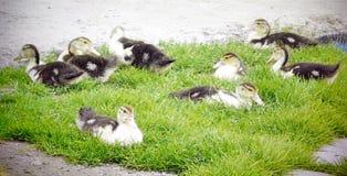ducklings Fotografering för Bildbyråer