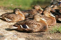 Ducklings. In rest Stock Image