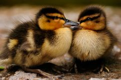 Free Ducklings Royalty Free Stock Photography - 9764977