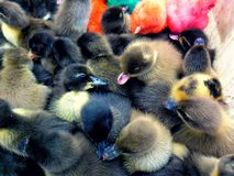 Ducklings and artificially colored chicks Royalty Free Stock Image