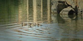 Baby ducks  Stock Image