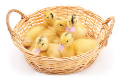 Ducklings in basket. royalty free stock image