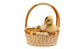 Ducklings in a basket  on a white background Royalty Free Stock Images