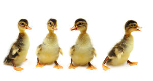 Ducklings - creative group Royalty Free Stock Photography