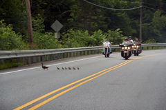 Ducklings crossing street. While bikers stop and allow them to cross safely royalty free stock images