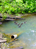 Ducks on the water. Ducklings floating down the stream Stock Images