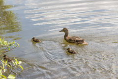 Ducklings. Duck with a brood of ducklings Royalty Free Stock Photo