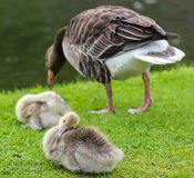 Ducklings and duck in the park near the Nymphenburg Palace in Munich in Bavaria stock images